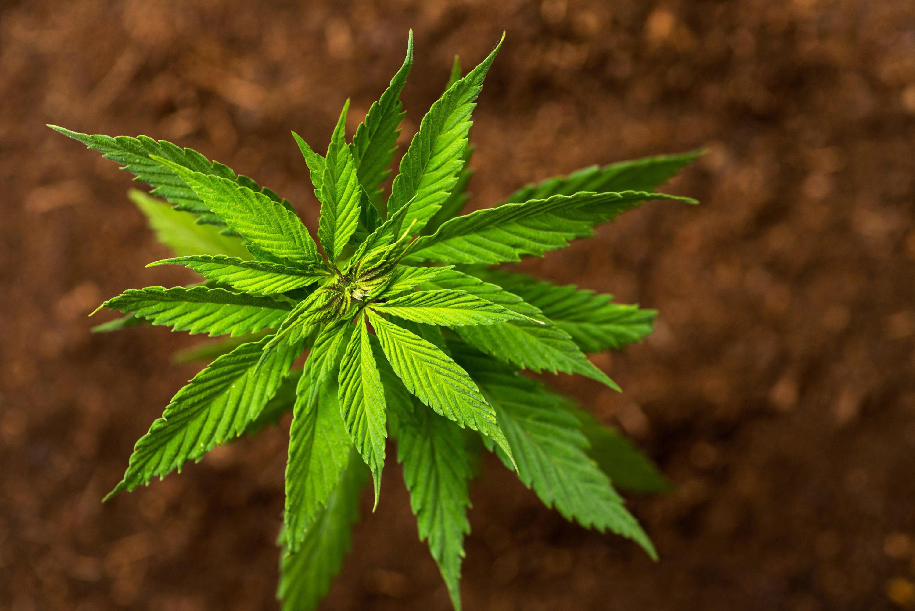 Pennsylvania S New Hemp Rules May Hurt Early Farmers But Boost The Industry